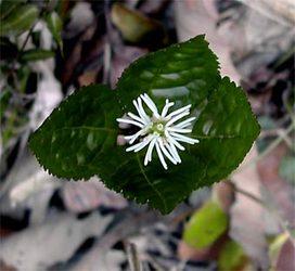 Chloranthusjaponicus5