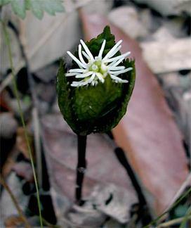 Chloranthusjaponicus6