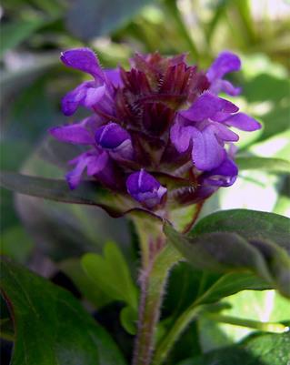 Prunellaprunelliformis1_2