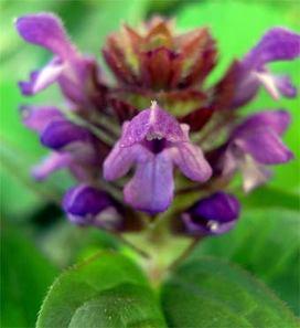 Prunellaprunelliformis2_2