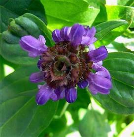 Prunellaprunelliformis3