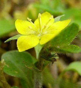 Lysimachiajaponica5