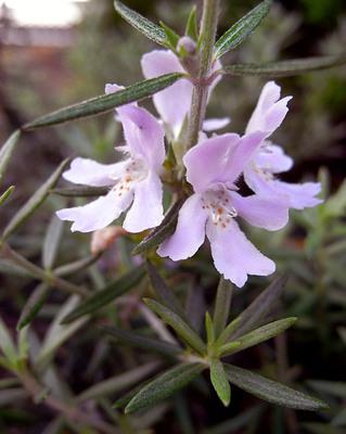 Westringiafruticosa3_2