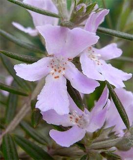 Westringiafruticosa4