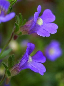 Chaenorhinumoriganifolium2