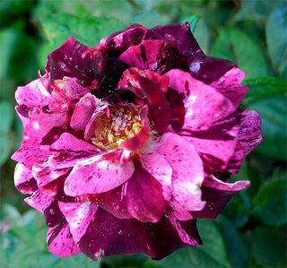 Rosapurpletiger1_2