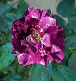 Rosapurpletiger2