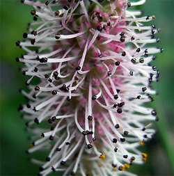 Sanguisorbatenuifolia2_2