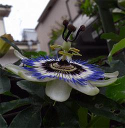 Passifloracaerulea2