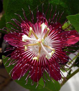 Passiflorapuravida1_2