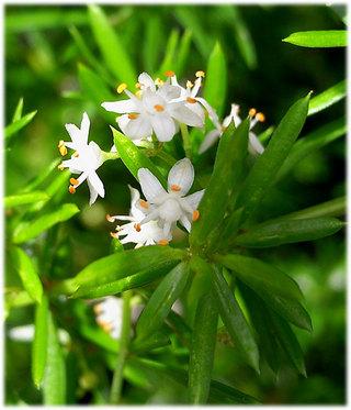 Asparagusdensiflorus1_2