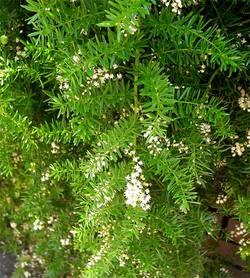 Asparagusdensiflorus4
