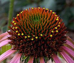 Echinaceagreenenvy2_2