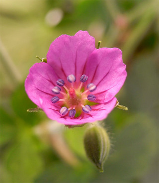 Geraniumthunbergii10_2