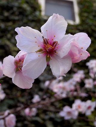 Prunusdulcis6