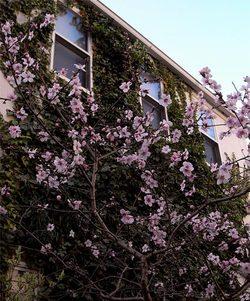Prunusdulcis7