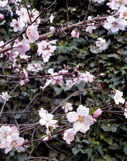 Prunusdulcis8