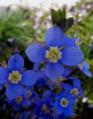 Heliophilalongifolia1_2