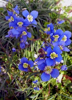 Heliophilalongifolia3