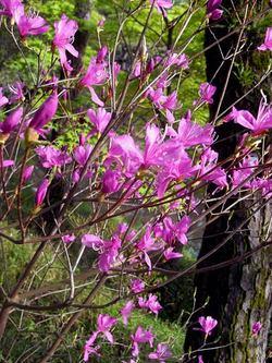 Rhododendrondilatatum2