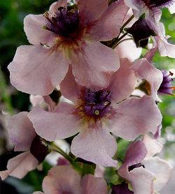 Verbascumphoeniceum1