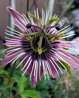 Passifloravictria1