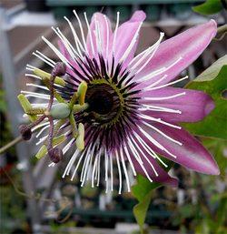 Passifloravictria4
