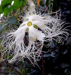 Trichosanthesjaponica4