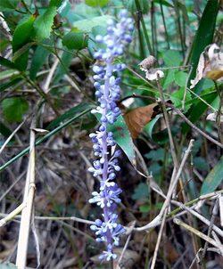 Liriopeplatyphylla3