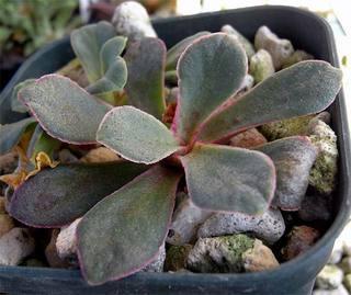Lcotyledonpurdyi1