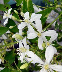 Clematisterniflora10