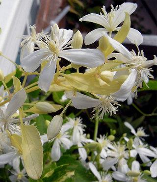 Clematisterniflora9