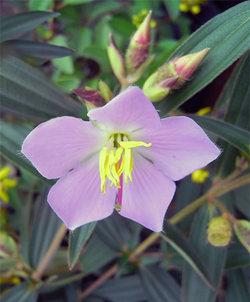 Osbeckianepalensis2