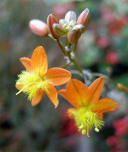 Bulbinefrutescens2