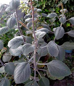 Plectranthusargentatus2