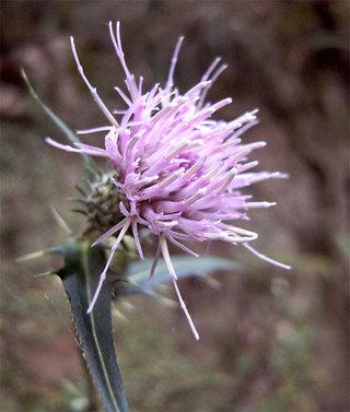 Cirsiumnipponicum1