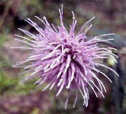 Cirsiumnipponicum2