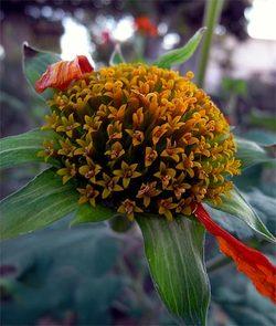 Tithoniarotundifolia2
