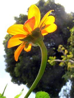Tithoniarotundifolia4