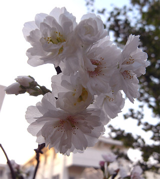 Prunusautumnalis1