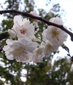 Prunusautumnalis2