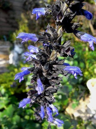 Salviablackcalyx1