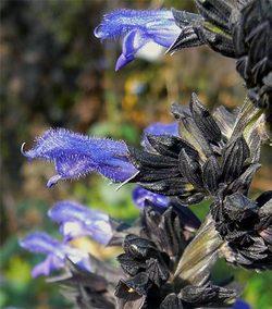 Salviablackcalyx3