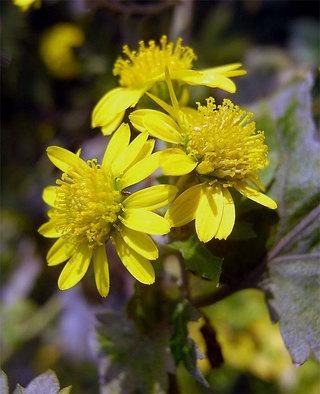 Chrysanthemumboreale1
