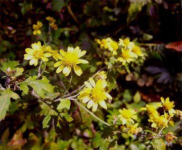Chrysanthemumboreale2_2