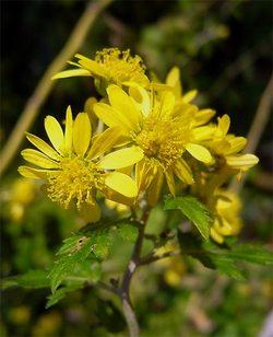 Chrysanthemumboreale3