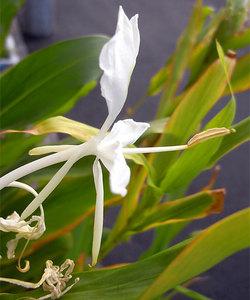 Hedychiumchrysoleucum3