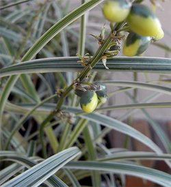 Ophiopogonvittatus2