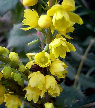 Mahoniajaponica1