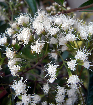 Eupatoriumligustrum1_2
